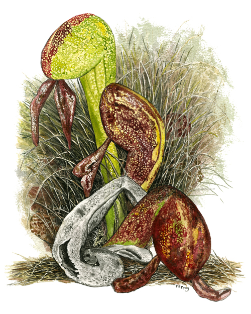 "Cobra Lily (11"" x 14.5"")"