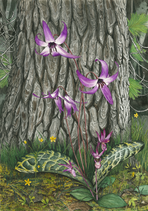 "Fawn Lily and Calypso Orchid (12.5"" x 18"")"