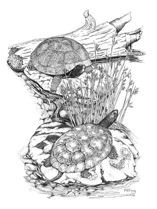 "Western Pond Turtle (10"" x 14"")"